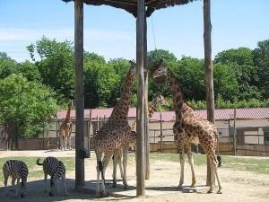Girafe